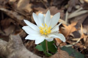 Photo of Bloodroot on the Springtime Wildflower Hike at Sequatchie Valley Institute